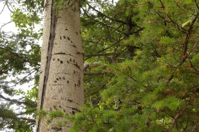 Black bear claw marks on quaking aspen, Beaver Ponds Trail.JPG