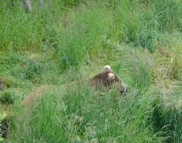 Bear standing in grass.