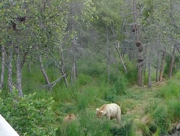 Bears in grass with cubs in trees.