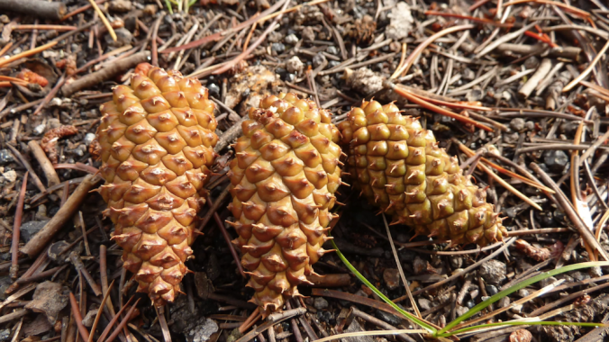 pine cones on the ground