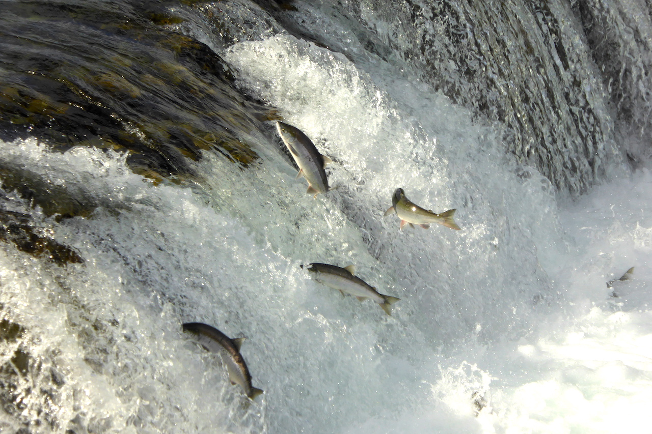 salmon jumping at waterfall