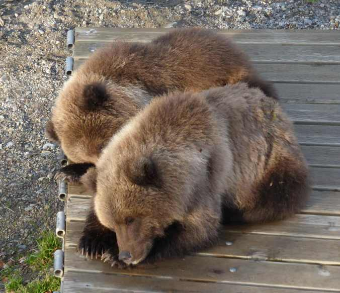 two sleeping bear cubs