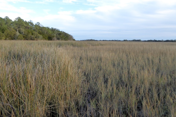 brown grass of salt marsh, taller rushes on left of photo, trees on horizon
