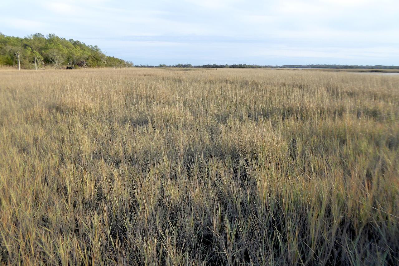 brown grass in salt marsh meadow