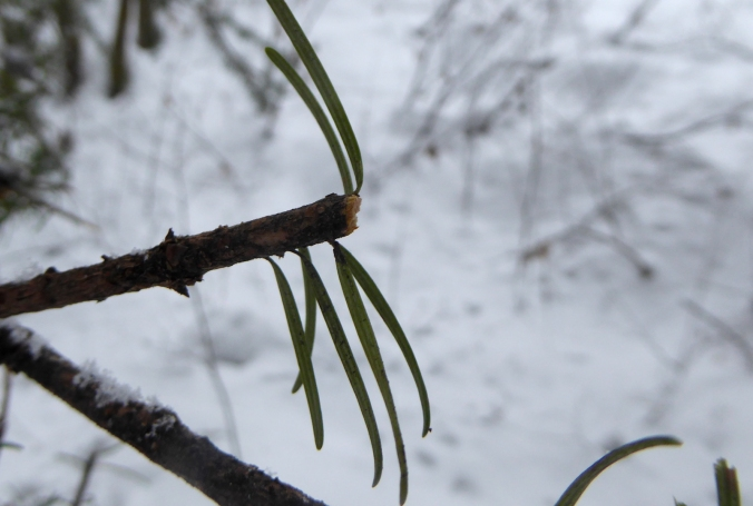 conifer twig clipped by browsing elk