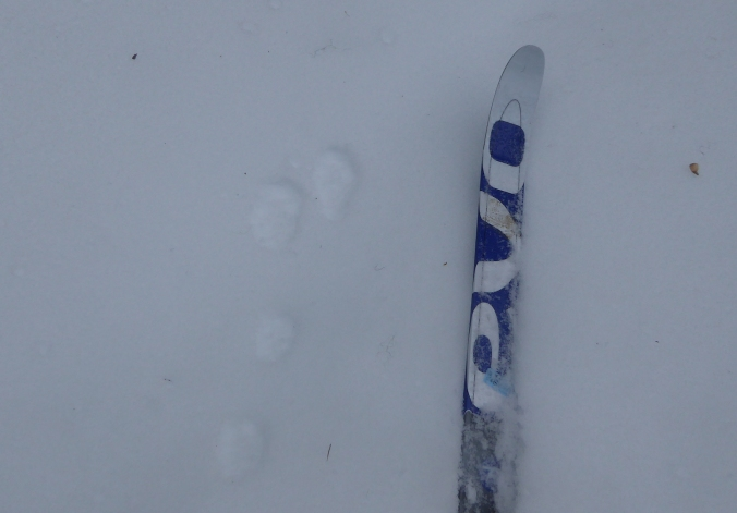 Snowshoe hare tracks in snow next to ski