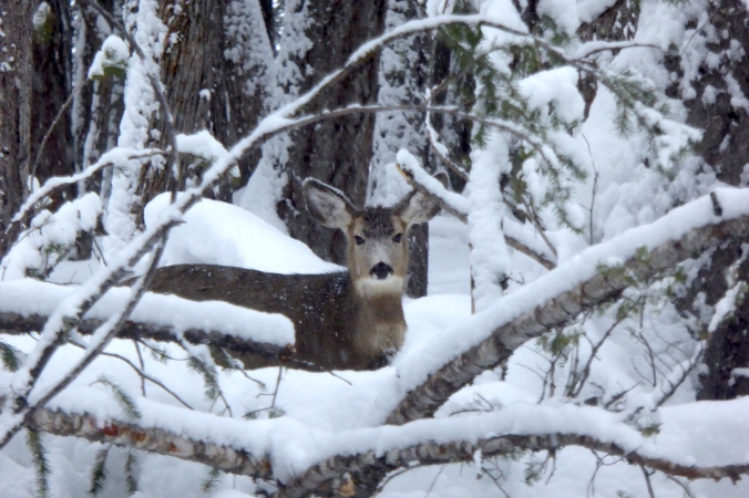 mule deer looking at camera through fallen trees