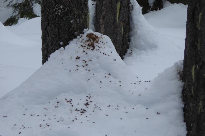 scales from Douglas-fir cone scattered on snow