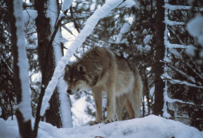 wolf standing in snowy forest