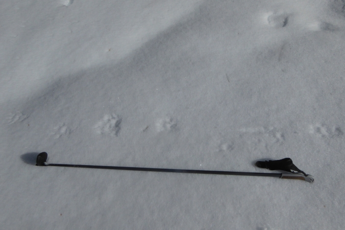 wolverine tracks in snow next to ski pole