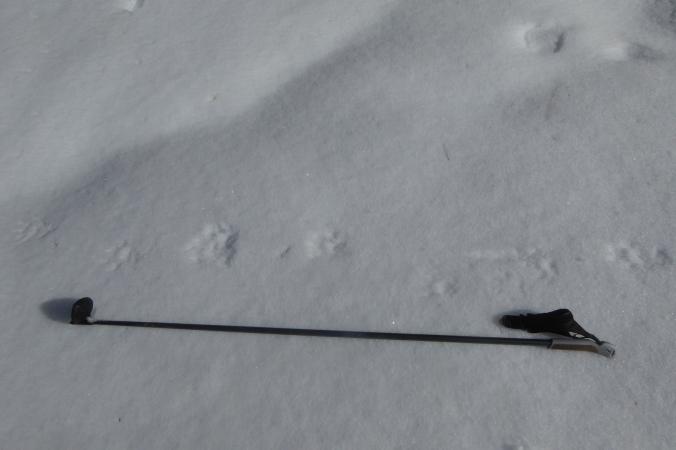 wolverine tracks in snow next to ski pole