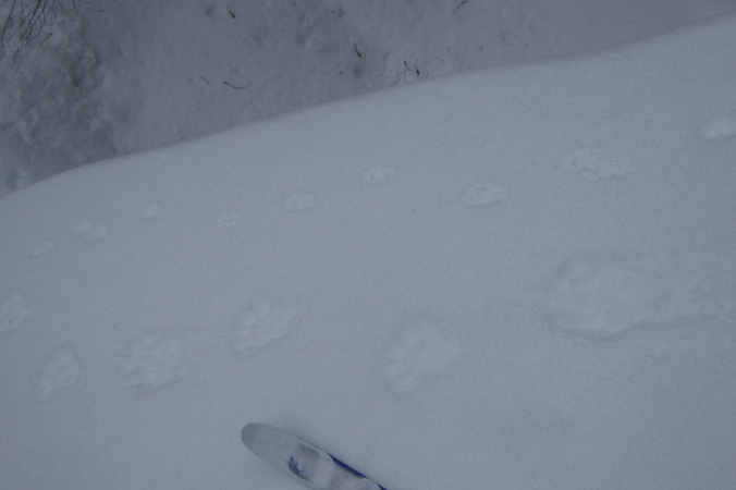 wolverine tracks (bottom) next to smaller marten tracks. Tip of ski at bottom center.