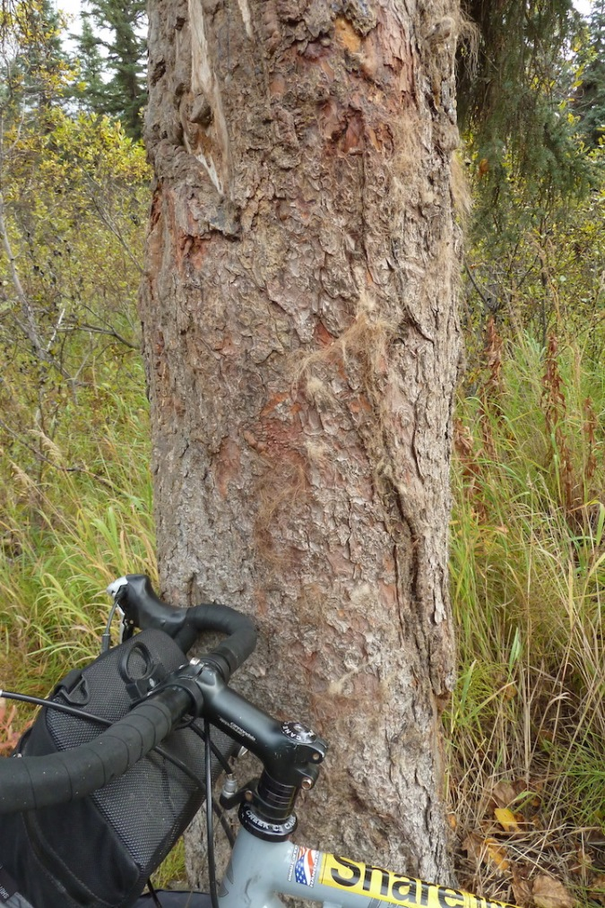 Bicycle handlebars leaning against tree. Bark has bear fur attached to it.