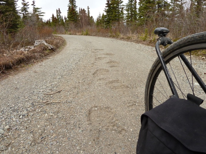 bear tracks on dirt road. bike wheel in right foreground.