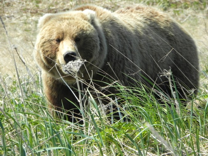 brown bear standing in grass