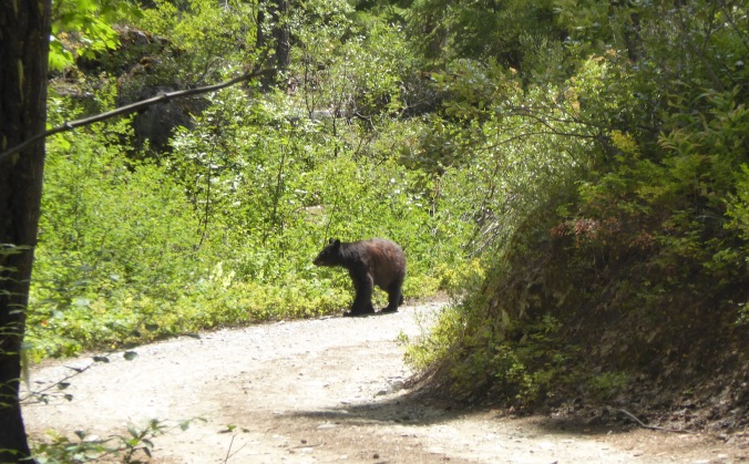 black bear walking on dirt road through forest