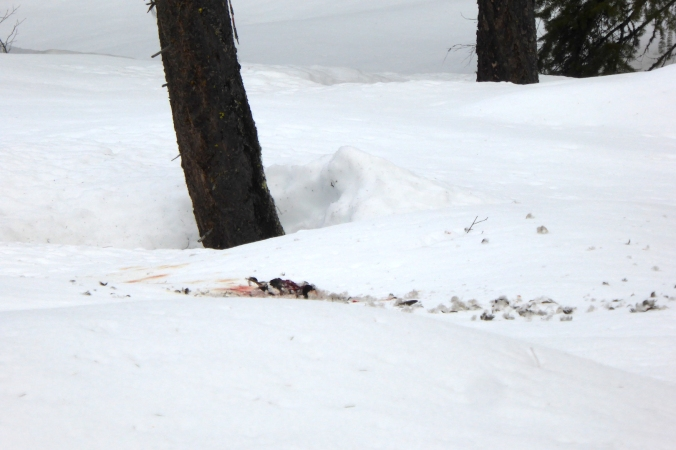 feathers and blood on snow near tree