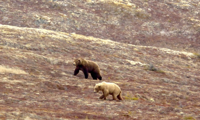 Two brown bears walking on alpine tundra