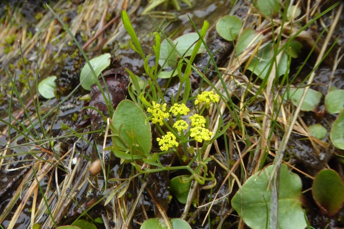 wildflower with umbel of yellow flowers and pinnate leaves, among other small vegetation