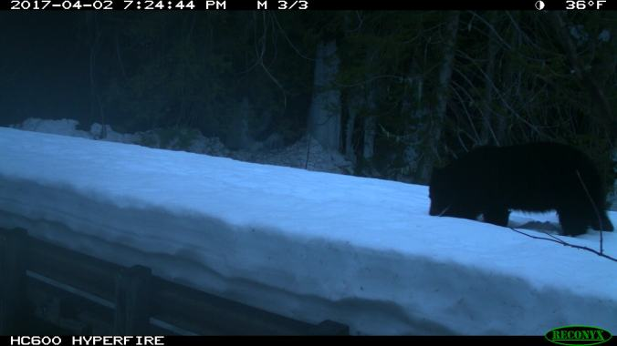 black bear walking on snow with nose to the ground. 2017-04-02, 7:24:44 PM, 36˚F