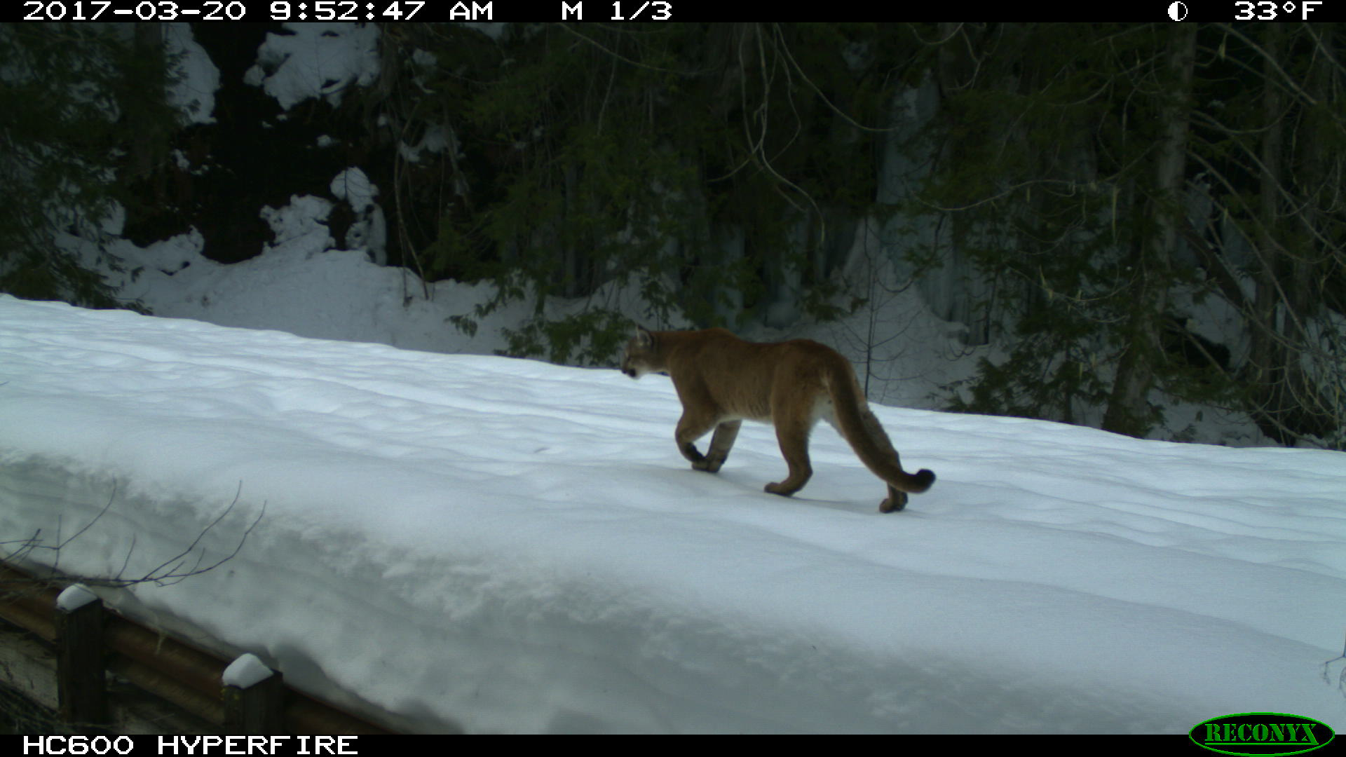 Mountain lion walking on snow. 2017-03-20, 9:52:47 AM, 33˚F