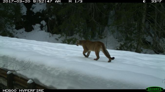 Mountain lion walking on snow. 2017-03-20, 9:52:47 AM, 33˚F