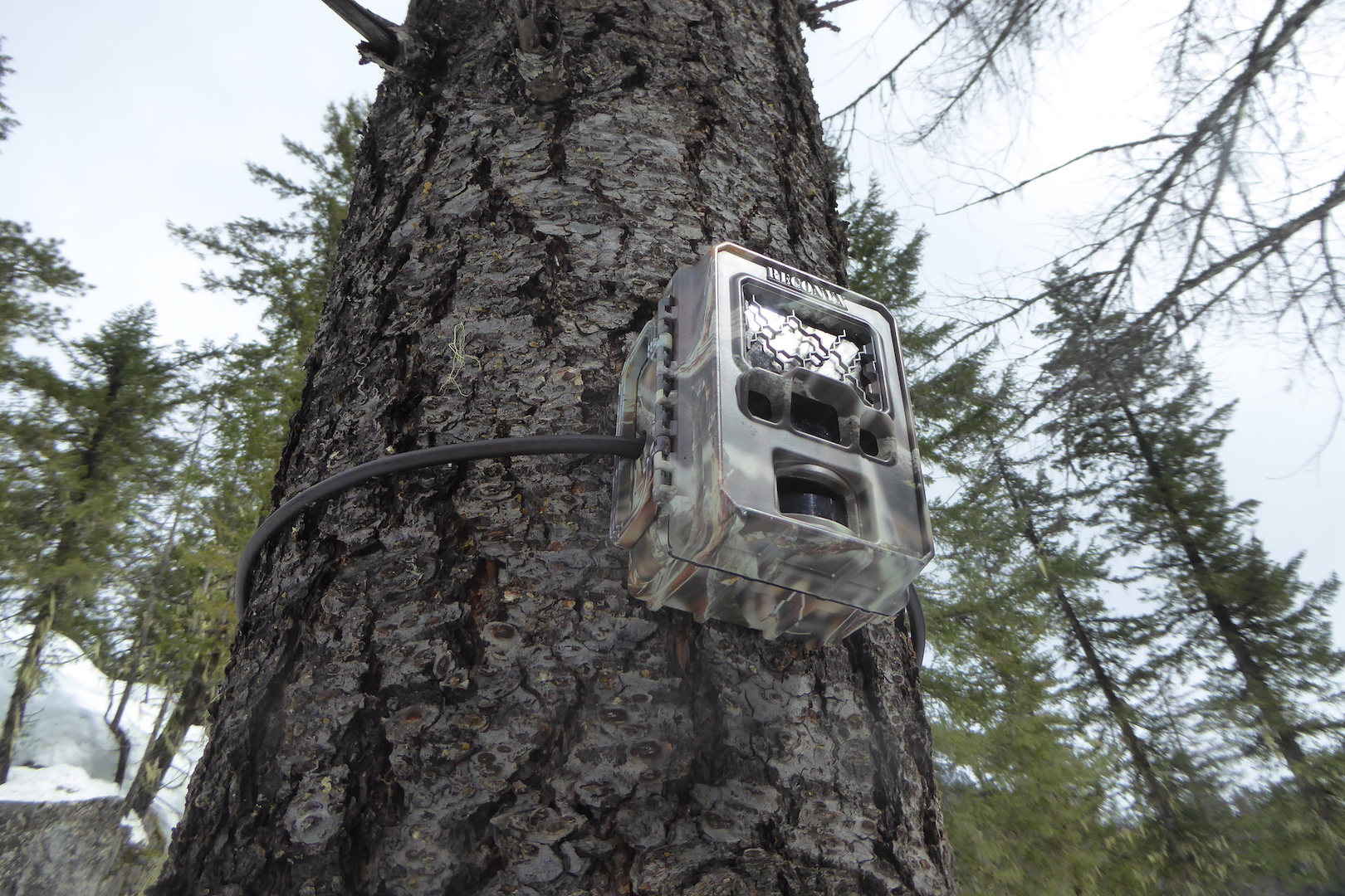 Trail cam mounted on Douglas-fir tree