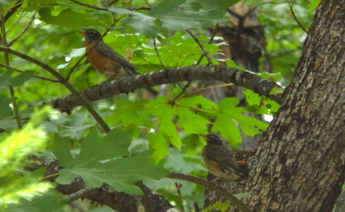 Adult robin (upper left) and fledgling robin (lower right) perched on tree branches. Tree is big leaf maple.