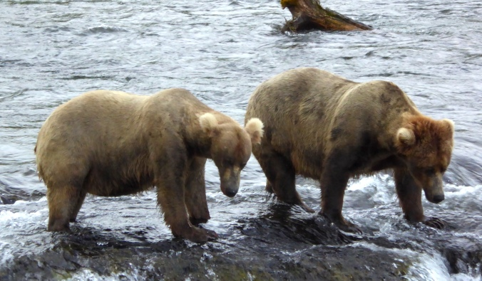 two bears standing in shallow water