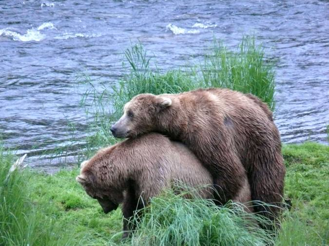 mating bears