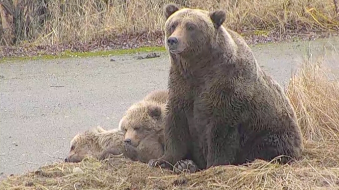 mother bear sits next to two of her cubs