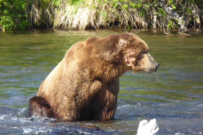 large bear with wound on cheek sitting in water