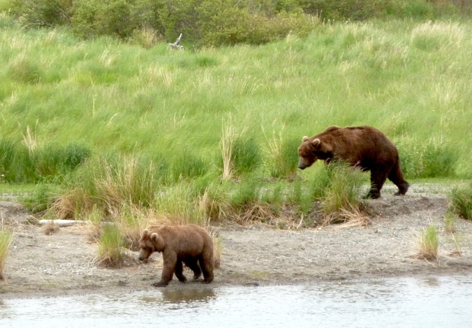 large bear (right) follows smaller bear through grass