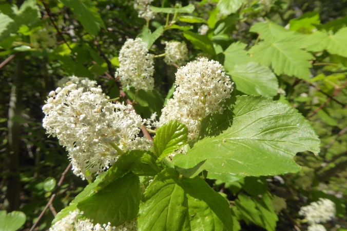 cluster of white ceanothus flowers at the end of a twig