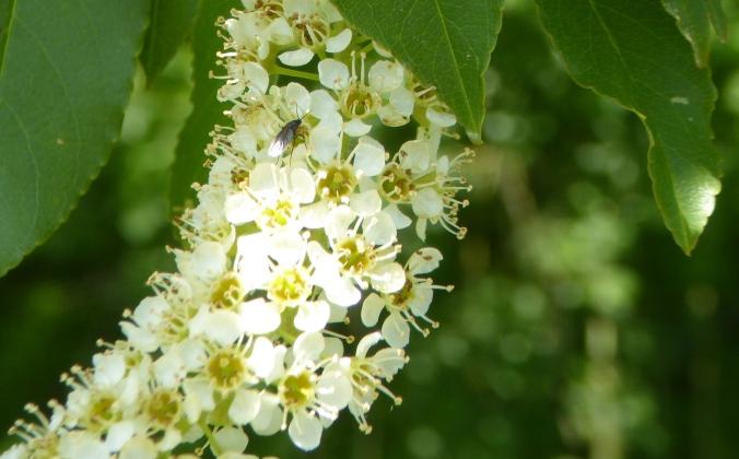 flowers, Prunus serotina, Moraine State Park_05182017