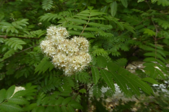 flowers, Sorbus scopulina