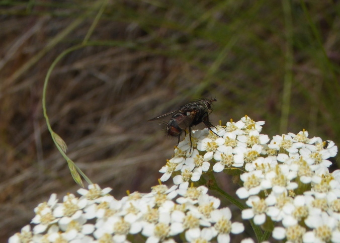 fly on cluster of white flowers