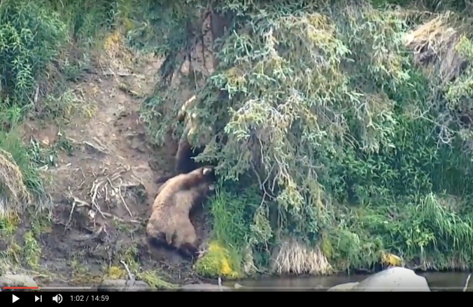 screen shot of bears beneath spruce tree