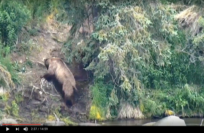 screen shot of brown bear on hill near spruce tree