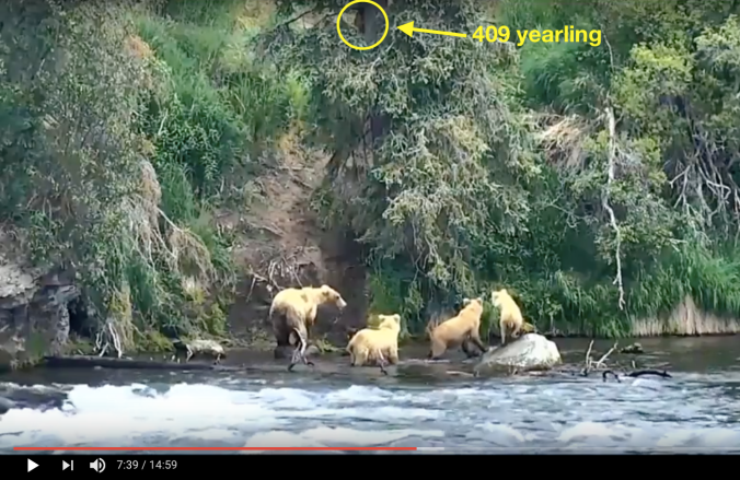 "four bears standing in river. Yellow circle surrounds bear in tree. Text reads, ""409 yearling"""