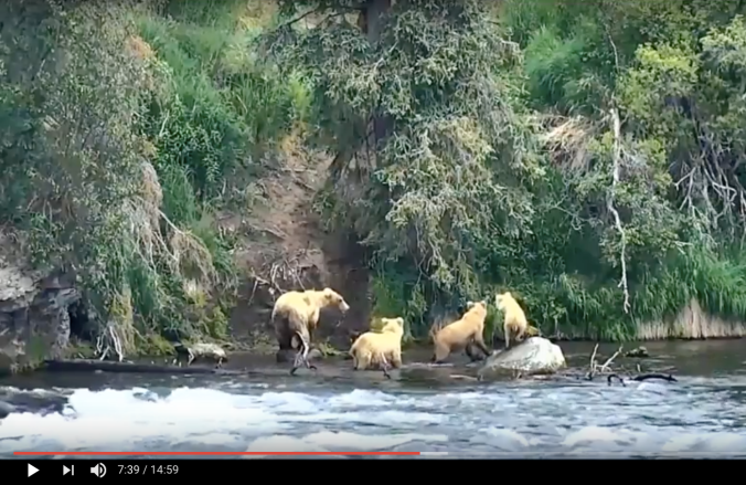 four bears standing in river near a steep embankment