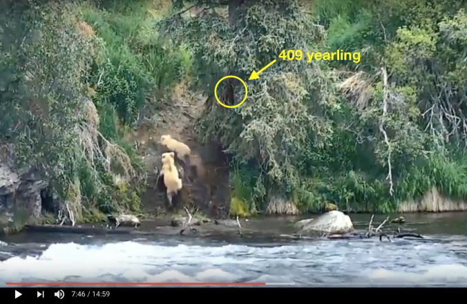 "Two bears climbing a hill. Yellow circle highlights a bear in a spruce tree. Text reads, ""409 Yearling"""