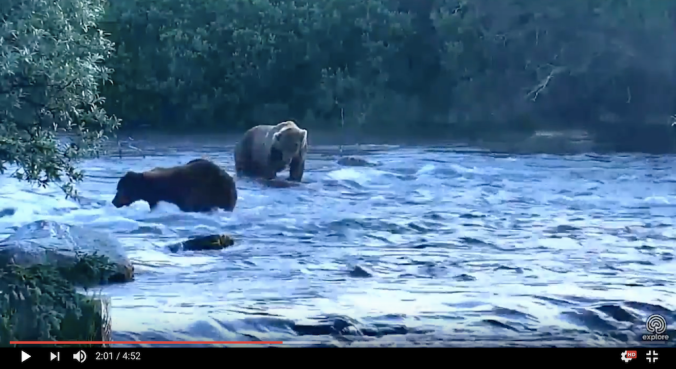 screen shot from video. Dark bear walking away from lighter bear