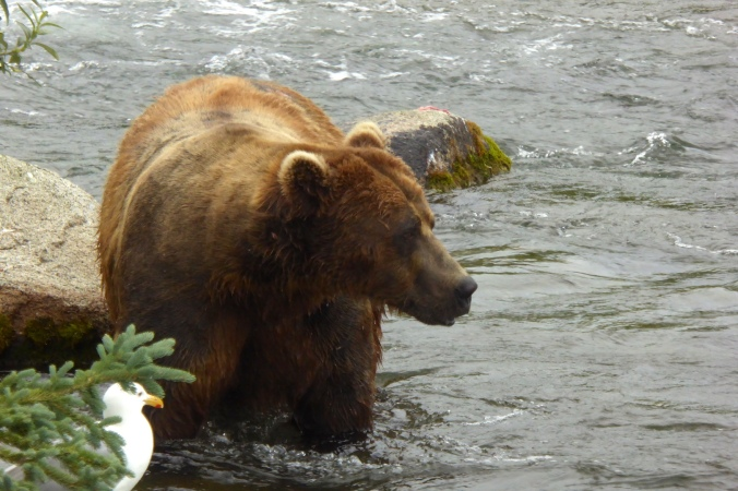 bear standing in water and facing the right side of the photo