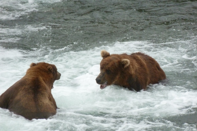 two bears facing each other in water