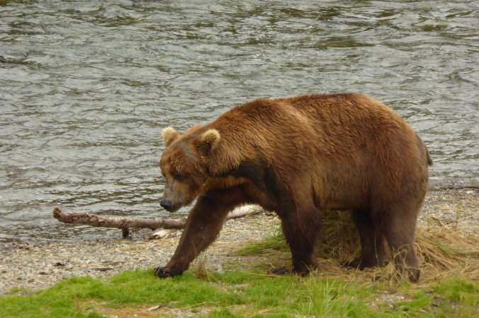 bear standing on grass near water