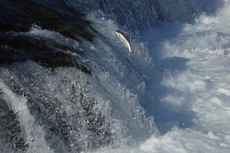 salmon jumping at waterfall