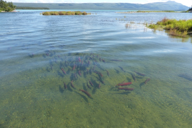 school of salmon in water with lake and mountains in background