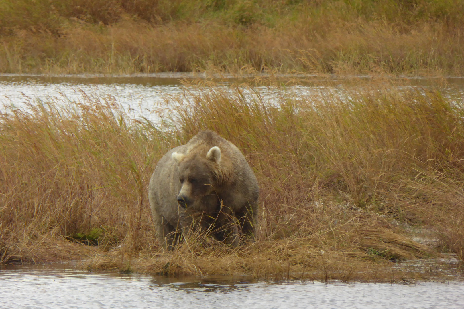 brown bear standing in grass near water