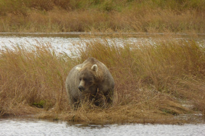 brown bear standing in grass near water